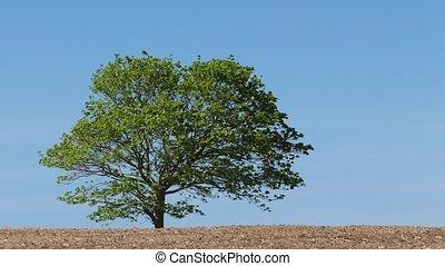 Tree In Summer Breeze - Tree on a breezy day in empty field