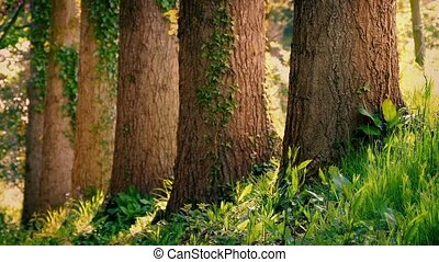 Tree Trunks In Peaceful Woodland - Row of large tree trunks...