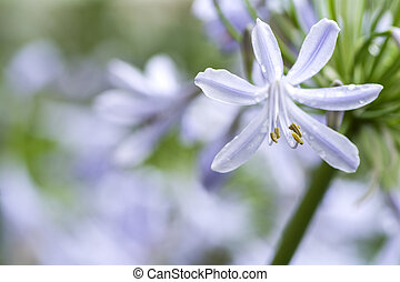 Agapanthus africanus flower - Close up pale purple...