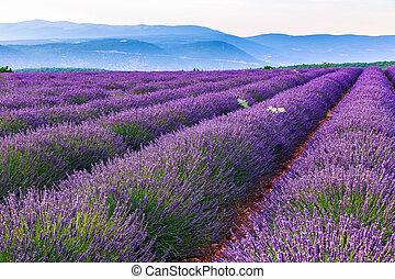 Lavender field summer landscape near SaultProvenceFrance