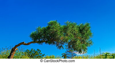 crooked pine against bright blue sky background