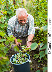 One grape equals one drop of wine - Senior agrarian...