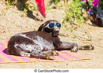Relaxing in the sun - German beagle sunbathing on the beach...