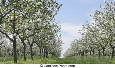 Blooming cherry trees orchard - Agriculture, beautiful...