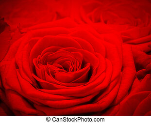 Red rose background. Romantic love greeting card for...