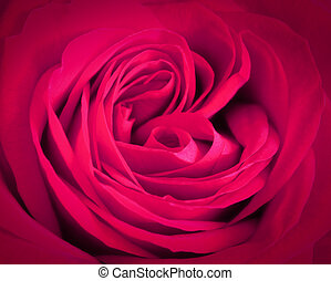 Pink rose close-up background. Romantic love greeting card...