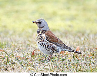Fieldfare Turdus pilaris - Fieldfare resting on the ground...