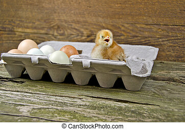 baby chick in egg carton - Baby chick and fresh eggs in gray...