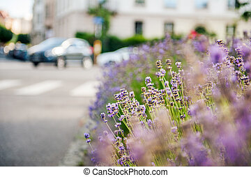 Beautiful lavender field with car in the background -...