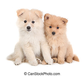Cute Pomeranian Puppies Sitting Together on White Background...