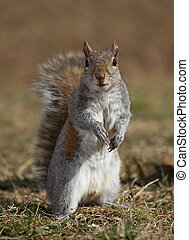 Wary squirrel - Tree squirrel standing up and looking at the...