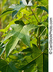 Sweet Gum Leaves - Sweet Gum tree leaves (Liquidambar) with...