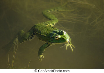 Green frog in the still water