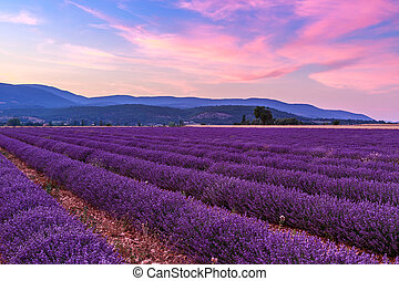 Beautiful landscape of lavender fields at sunset near Sault,...