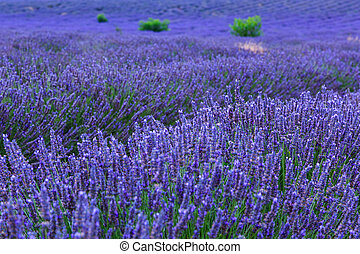 Lavender bushes in long lines near ValensoleProvenceFrance
