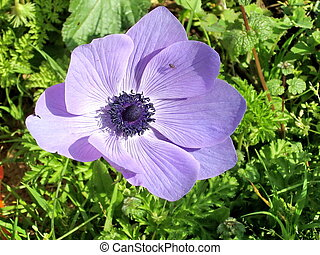 Ramat Gan Park Purple Crown Anemone 2007 - Beautiful Purple...