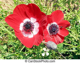 Ramat Gan Park red Crown Anemone 2007 - Two Beautiful Red...
