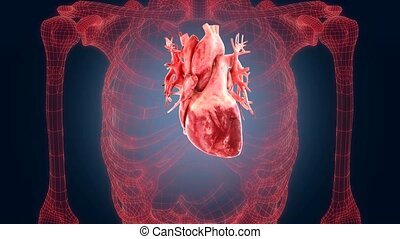 xray scan internal orans - heart - xray scan internal orans...