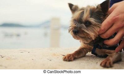 Groom petting little cute dog terrier Montenegro, Budva...