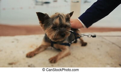 Groom petting little cute dog terrier in Montenegro, Budva...