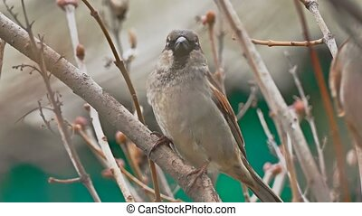 brown sparrow bird sitting on nature branch tree - brown...