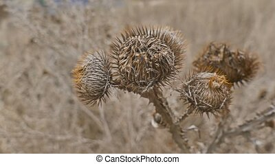Arctium burdock lappa bur dry noodle the web at dawn of...