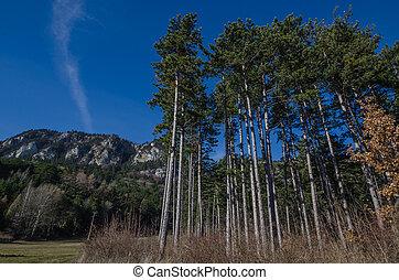 hoog, naaldbomen,