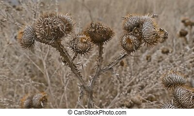 Arctium burdock lappa bur dry noodle the web at the dawn of...