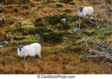 Irish sheeps on the hillside - Landscape photo of sheeps on...