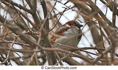 brown bird sparrow sitting on nature tree branch - brown...