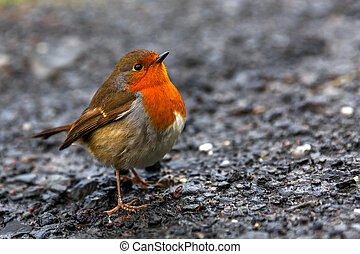 Friendly beautiful robin - Close up photo of a beautiful...