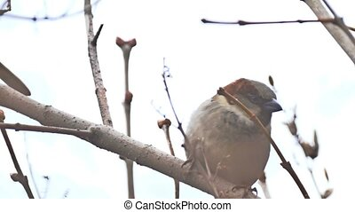 brown sparrow sitting bird on nature branch tree - brown...