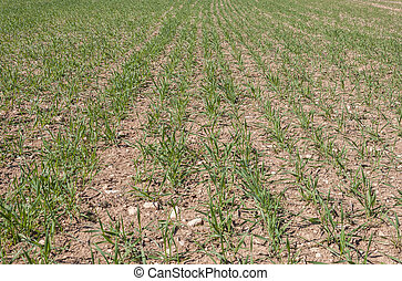 Barley fields - Close up of barley seedlings in a system of...