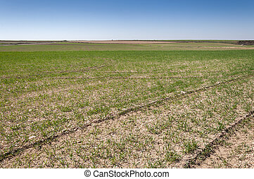 Barley fields in a system of dryland agriculture Photo take...