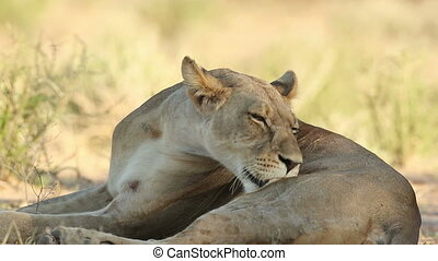 Grooming lioness - Close-up of a lioness (Panthera leo)...