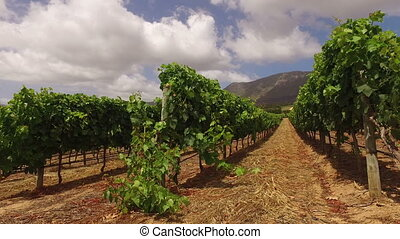 Vineyard landscape - South Africa - Landscape of a lush...