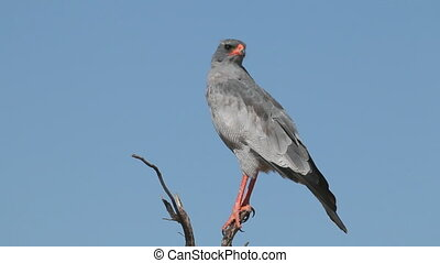 Pale Chanting goshawk Melierax canorus perched on a branch,...