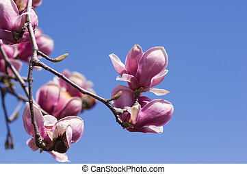 Magnolia blossoms over clear blue sky