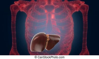 xray scan internal orans - liver - xray scan internal orans...
