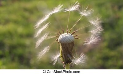 Dandelion - Remaining in the inflorescence stir dandelion...