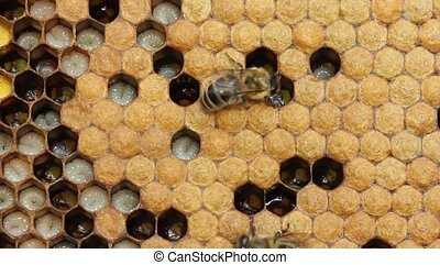 Larvae and cocoons of bees