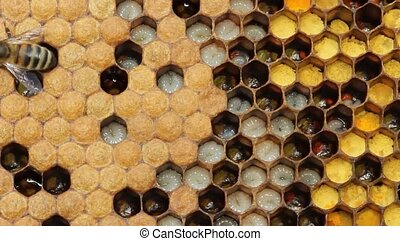 Life and reproduction of bees - Honeycombs are developing...