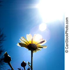 Field of wonderful daisy flowers with the sun backlighting