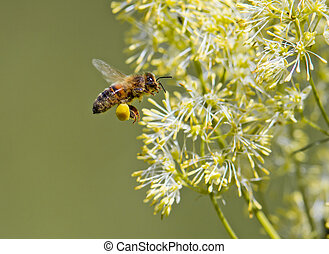 Honey Bee  - Honey bee collecting pollen