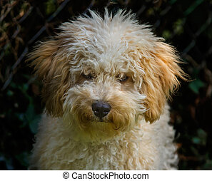Cavapoo puppy portrait