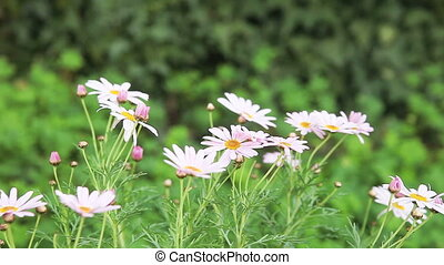 pink daisies - pale pink daisies in a gentle breeze