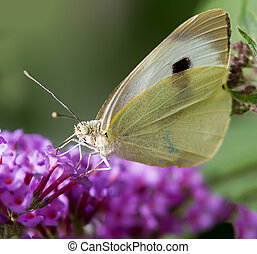 Cabbage White Butterfly - A Cabbage White Butterfly feeding.