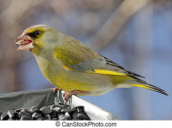 European Greenfinch Bird - Close up view of beautiful...