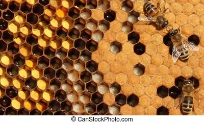 Larvae and cocoons of bees - Honeycombs are developing...