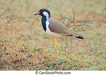 Red-wattled lapwing - A red-wattled lapwing (Vanellus...